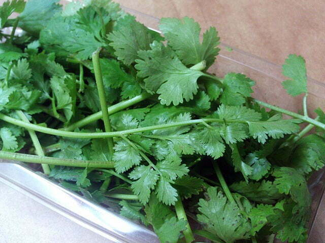 Cilantro leaves should be kept dry to prevent rot