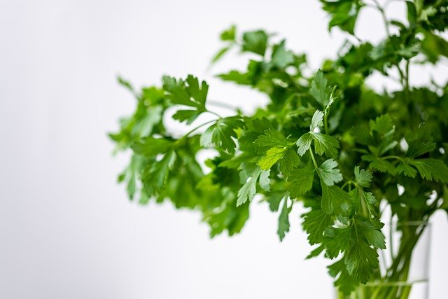 Placing cilantro stems down in a glass of fresh water