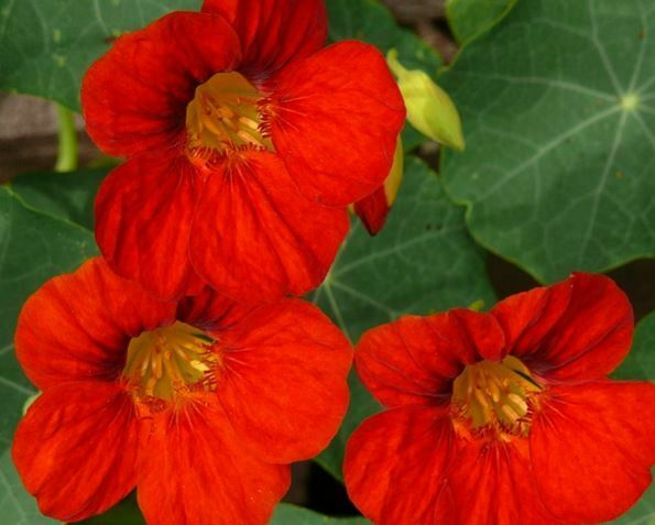 companion plants for kale: nasturtium