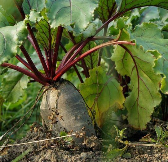 companion plants for kale: Beets