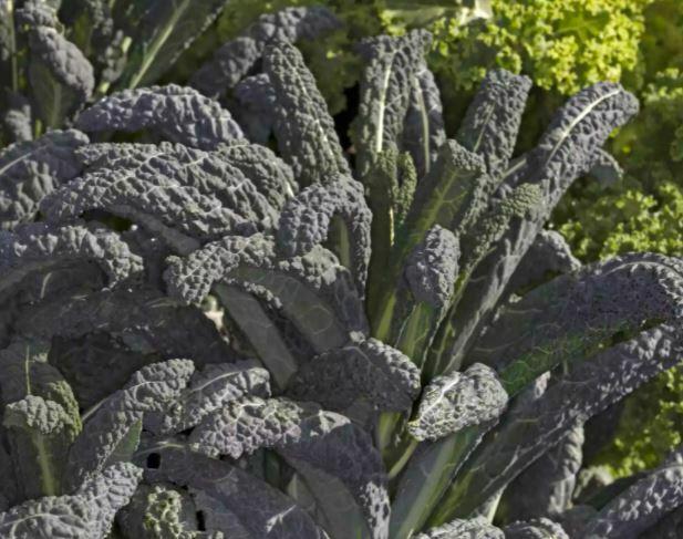 kale seeds: Lacinato