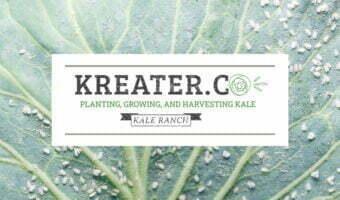 kale pests