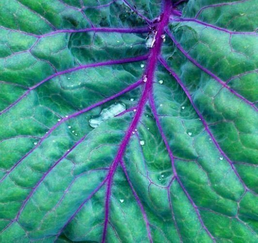 kale seeds: Red Russian