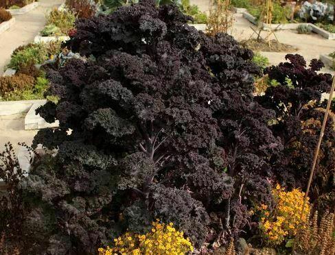 Kale seeds: Redbor