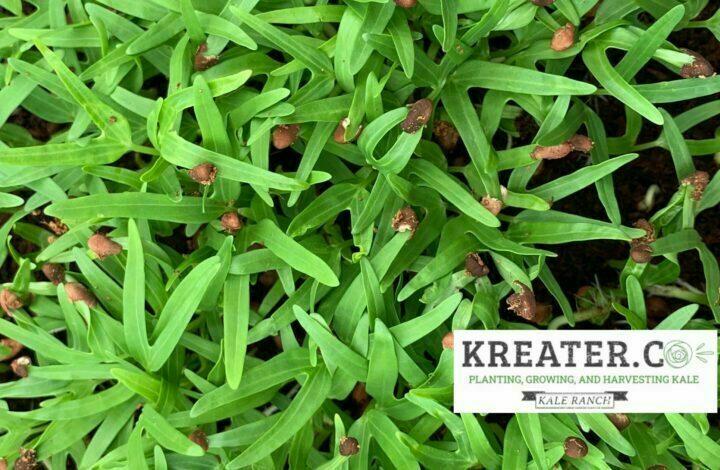 Kale Seeds