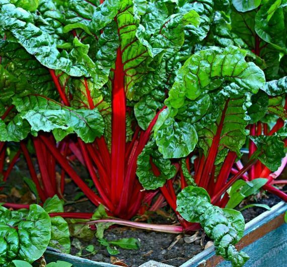 companion plants for kale: swiss chard
